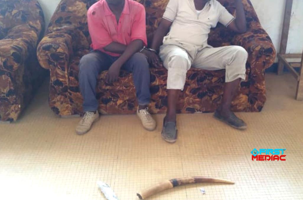 02 Congolais arrêtés avec une pointe d'ivoire à Nkayi La pointe d'ivoire, pesant 1kg, représente un éléphant tué. Les deux individus pris la main dans le sac ce12 décembre à Nkayi dans la Bouenza sont poursuivis pour détention, circulation illégales et tentative de commercialisation d'un trophée d'une espèce animale intégralement protégée. Ils répondront de leurs actes devant la justice congolaise et risquent des peines allant jusqu'à cinq ans d'emprisonnement ferme ainsi qu'une amende allant jusqu'à 5 millions de FCFA chacun. En effet, ces présumés délinquants fauniques seraient des habitués du commerce illégale des produits de faune dans le Département de la Bouenza et de la Lékoumou. L'un des deux présumés trafiquants aurait acheté cette pointe d'ivoire à Sibiti dans le département de la Lekoumou auprès des braconniers. Il comptait en revendre à Nkayi auprès de ses potentiels clients. L'autre serait donc son complice qui l'aiderait dans ce trafic illicite dans la même ville. Ils sont interpellés par les agents de la brigade des Eaux et Forêts de Nkayi et des éléments de la gendarmerie nationale avec l'appui du PALF (Projet d'Appui à l'Application de la Loi sur la Faune sauvage). Les investigations se poursuivent afin dénicher tous les présumés délinquants fauniques qui ont joué un rôle dans cette affaire. Ils détiendraient d'autres produits dans d'autres localités. Rappelons que l'éléphant bénéficie d'une protection absolue en République du Congo suivant l'arrêté de 1991 ainsi qu'un acte de la Conférence nationale souveraine. L'espèce est menacée d'extinction dans de nombreux endroits dans le pays à cause du braconnage. De même, L'article 27 de la loi Congolaise en matière de protection de cette espèce faunique stipule « l'importation ; l'exportation ; la détention et le transite sur le territoire national des espèces intégralement protégées ; ainsi que de leurs trophées sont strictement interdits ».