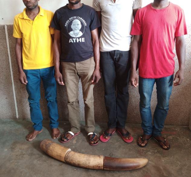 L'ivoire saisie, elle proviendrait des villages Konongo dans le département du Kouilou et Ngokosso dans le district de Banda, dans le Niari.