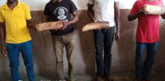 UN RESEAU MAJEUR DE PRESUMES TRAFIQUANTS D'IVOIRE ENFIN DEMANTELE A POINTE-NOIRE Un adjudant de la gendarmerie nationale et un sergent des forces armées congolaises ont été arrêtés pour détention et trafic illégaux des pointes d'ivoir, lors d'une opération qui a abouti au démantèlement d'un réseau de présumés trafiquants d'ivoire.